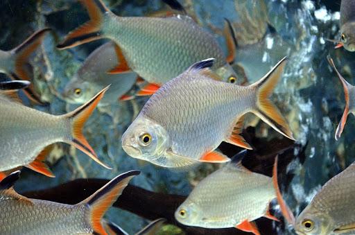 ปลากระแหทอง