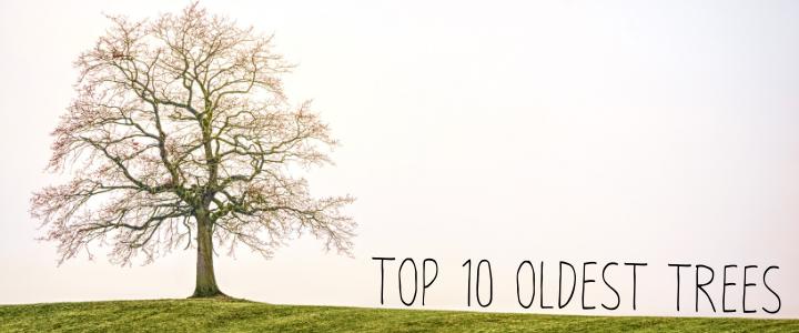 10 อันดับ ต้นไม้ที่เก่าแก่ที่สุด