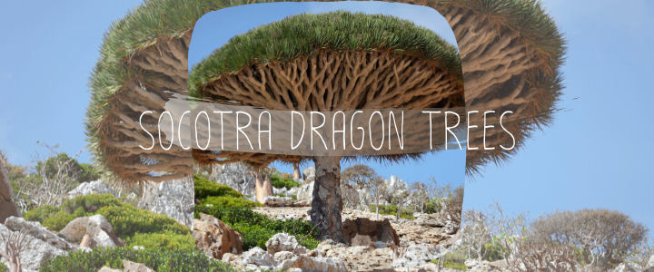 Socotra Dragon Trees