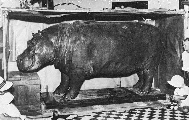 Huberta The Hippo